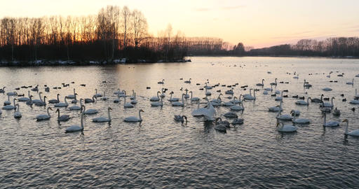 Swans and wild ducks on the lake at sunset Footage