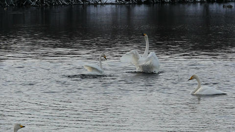 Swans couple waving wings slow motion Footage