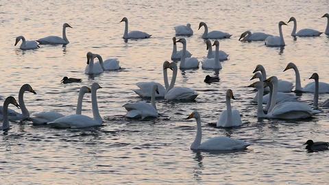 Swans lake at twilight sithoettes slow motion Live Action