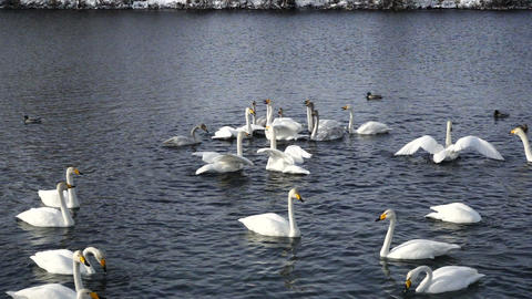 Swans on the lake waving wings in slow motion Footage