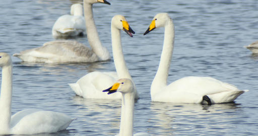 Swans swim in the lake in wild nature Footage