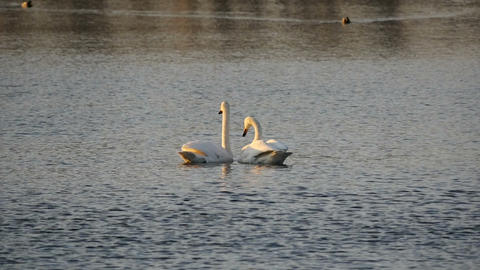 Two swans in love at sunset slow motion Footage