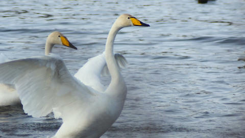 Wild Swans flap their wings in the water slow motion Footage