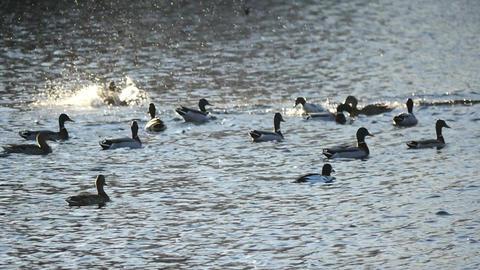 Wild ducks feeding on the lake slow motion Live Action