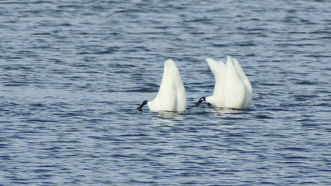Wild swans at the lake dive for feed slow motion Footage
