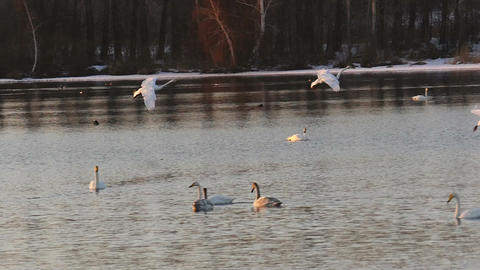 Wild swans landing to lake at sunset in slow motion Live Action