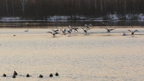 Wild swans landing to lake surface at sunset in slow motion Footage