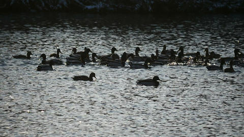 large flock of wild ducks splashing in the lake in slow motion Live Action