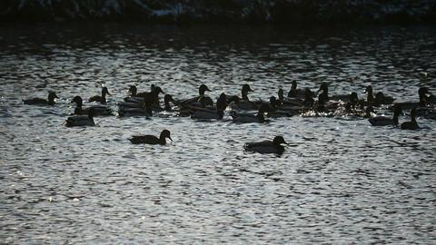 large flock of wild ducks splashing in the lake in slow motion Footage