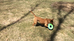 Dog playing with frisbee Footage