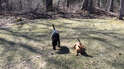 Brown carolina dog and black field lab Footage
