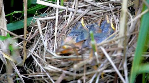 Woven from grass nest of Sedge Warbler (Acrocephalus schoenobaenus) 1 Footage