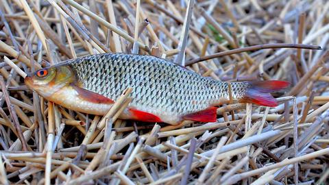 Beautiful Rudd. Fresh fisherman's catch Footage