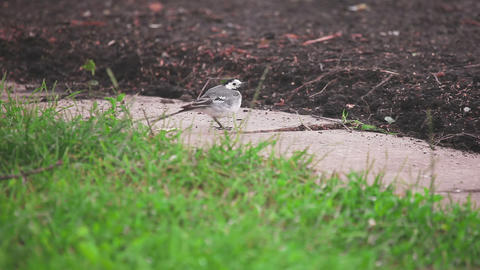 Wagtail bird looks for insects Footage