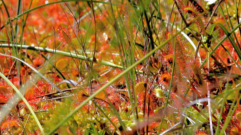 Carnivorous Shine. Colonies of sundew plants on high marsh Live Action