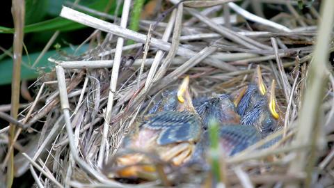 Woven from grass nest of Sedge Warbler (Acrocephalus schoenobaenus) 2 Footage