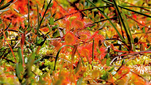 Carnivorous Shine. Colonies of sundew plants on high bog Live Action