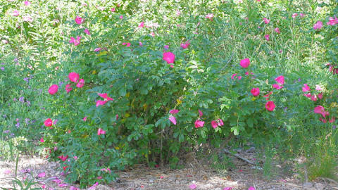 Wild rose Bush in the white midday sun Footage