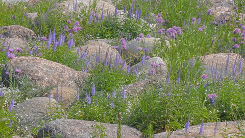Aspect purple. Seaside meadows plot with boulders Footage