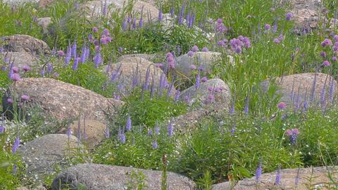 Aspect purple. Seaside meadows plot with boulders Live Action