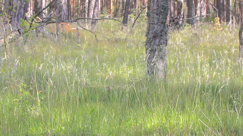 Grass swaying under wind in light pine forest Footage