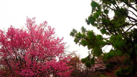 桜 松 梅 japan sky sakura mats ume ビデオ
