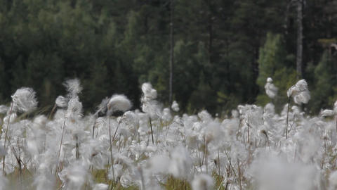 Environmentally friendly cotton fabrics. Blooming cotton grass forest backdrop Footage