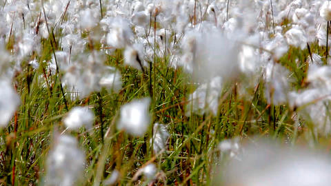 Environmentally friendly cotton fabrics. Blooming cotton grass Footage