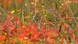 Carnivorous plants. Filming as sundew eats dragonfly, Live Action