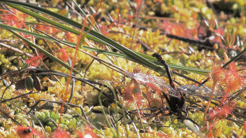 Carnivorous plants. Plant sundew and ants devouring…, Live Action