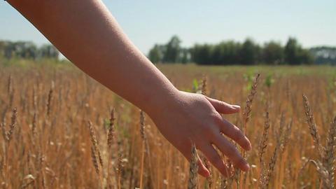 wheat field Footage