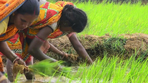 Close shot of Bengal village women seed sowing paddy Footage