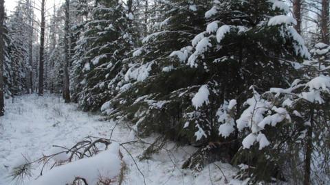 Beautiful Winter Forest. Crane Shot stock footage