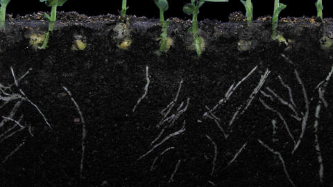 Time-lapse of growing pea vegetables with ALPHA channel Footage