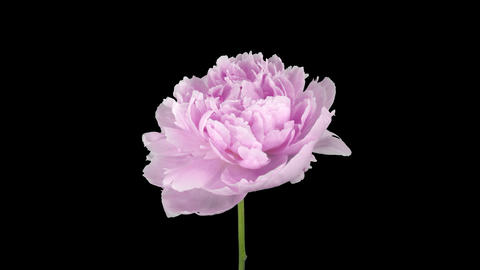 Time-lapse of opening pink Peony flower, 4K with ALPHA channel Footage