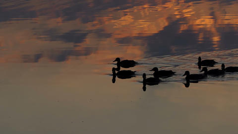 A group of brown ducks swim in a lake at sunset in slo-mo Footage