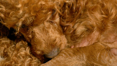 Very Young Poodle Puppies Nursing From Their Mom Live Action