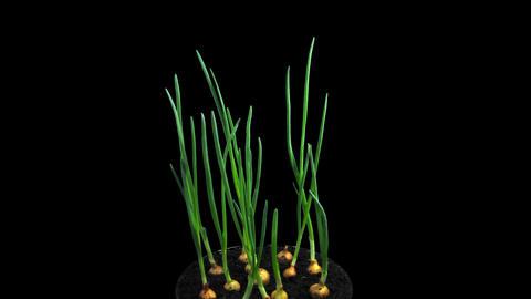 Phototropism effect in growing onions with ALPHA channel Footage