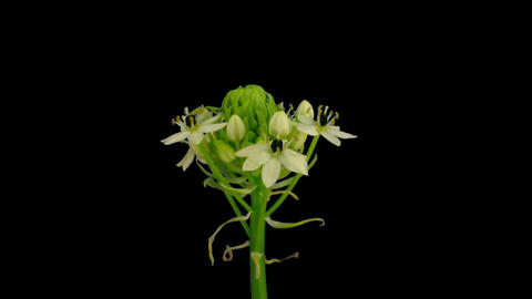 Time-lapse of opening white african lily with ALPHA channel Footage