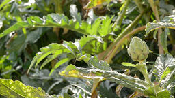 Artichoke vegetable in branch in a agricultural plantation ready for harvesting Footage