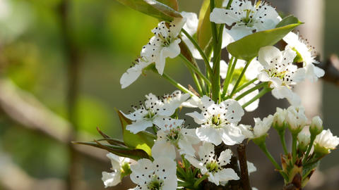 Beautiful white flowers in springtime Footage