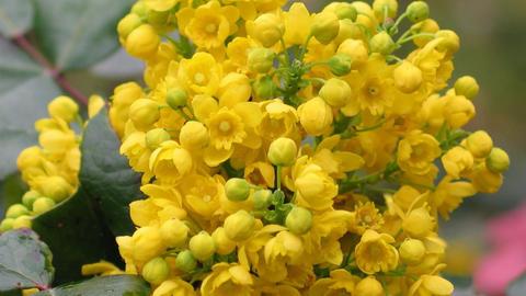 Detail yellow flowering shrubs mahonia - Mahonia aquifolium. Video blossom close Animation