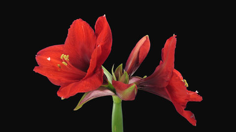 Time-lapse of opening Rondella amaryllis Christmas flower, 4K with ALPHA channel Footage