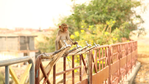 Monkeys at Temple area Footage