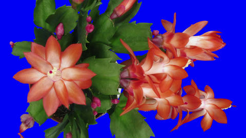 Time-lapse of growing and blooming pink Christmas cactus in RGB + ALPHA matte Footage