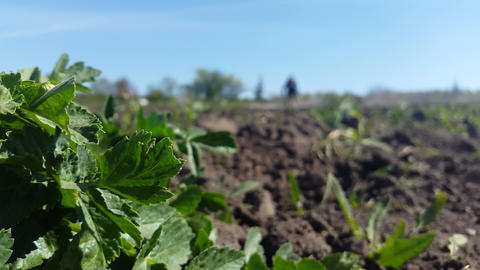 Bush Of Parsley And In The Background A Person Cultivates The Earth 4k Footage