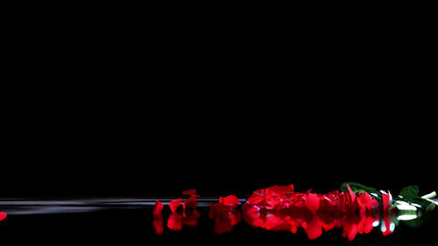 Red Love Rose Falling to Ground and Break POV Shot Slow Motion GIF