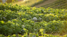 Melon fruit, cantaloupe charentais, in a agricultural plantation at sunset Footage