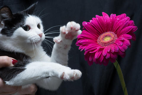 Cute black and white cat touches flower with paw sitting on hands of mistress Fotografía