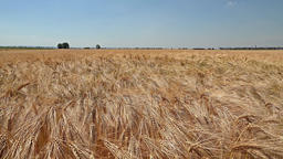 Slider shot of ripe wheat ready for the harvest Footage